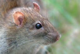 Brown Rat byanimals smarter than humans