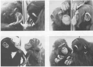chimp_mirror-300x218.jpg