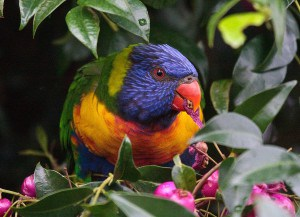 Lorikeet animal drug use