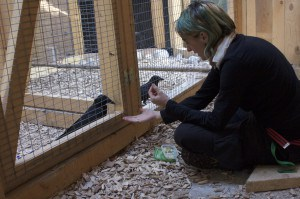 Claudia Wascher with Crows, studying corvid intelligence
