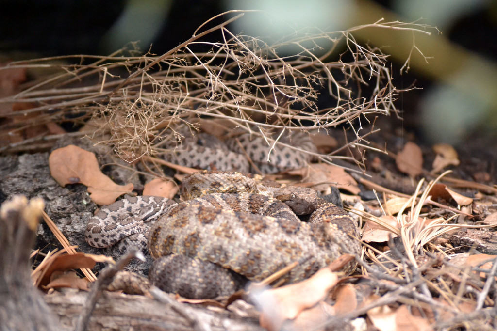 Adult Rattlesnake Babysitting Young, snake social behavior