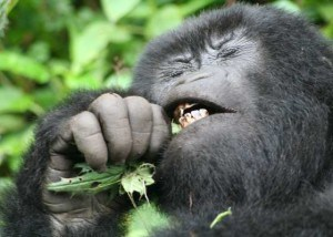 Gorilla Nettle Eating