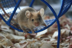 Mouse on wheel, Environment Influences Animal Intelligence