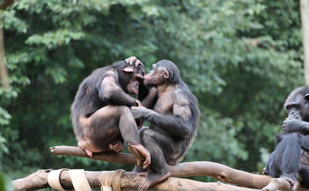 altruism in chimpanzees